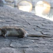 Systematische Rattenbekämpfung